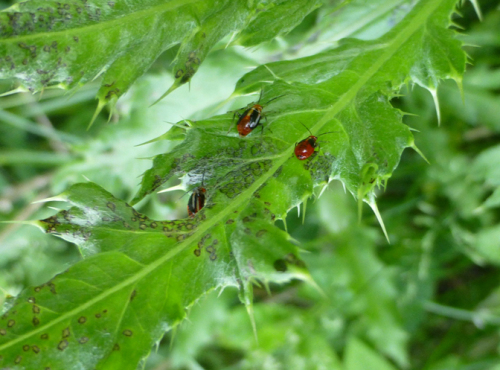 Fourlined plant bug feeding injury consists of spots that resemble plant disease.