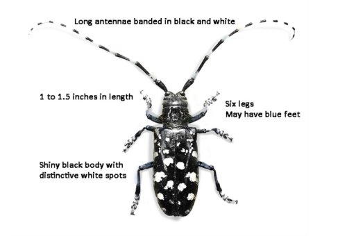 Asian longhorned beetle has distinctive characteristics as described.