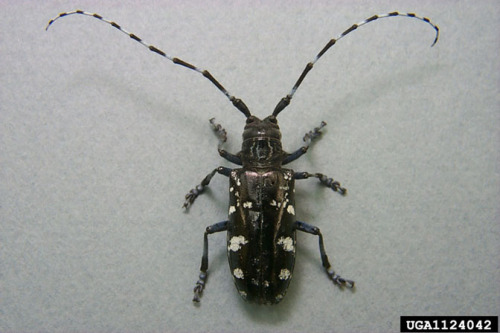 Asian longhorned beetle.  Photo by Donald Duerr, USDA Forest Service, via Bugwood.org