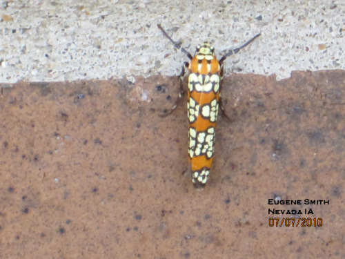 Ailanthus webworm moth is interesting, attractive and rarely noticed