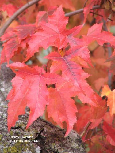Amur Maple Leaves, Fall Color. Photo by Cindy Haynes