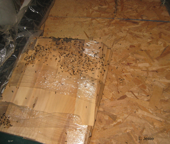 The bundle of cedar shakes serving as a carpenter ant hotel. : carpenter ants in attic  - Aeropaca.Org