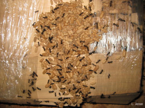 Carpenter Ant Nest Picture from Iowa State University Horticultural News