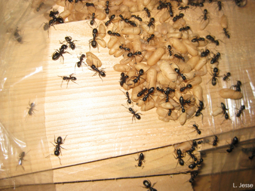 Note the differnt sizes of the worker ants.