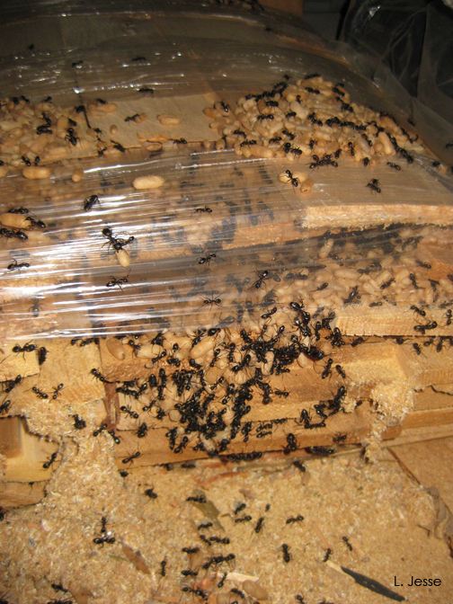 how to kill carpenter ants in winter
