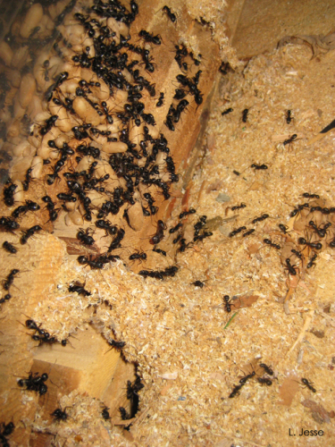 Ants, pupae and sawdust.