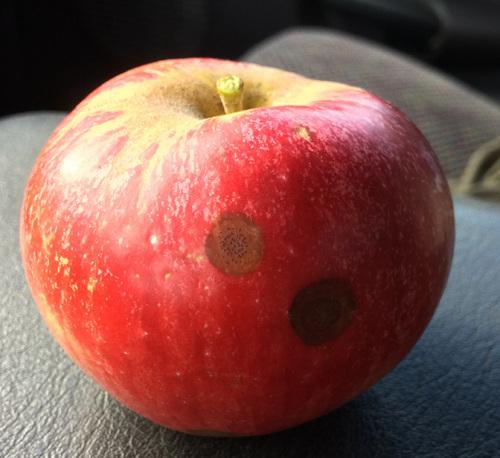 Apple bitter rot symptoms on empire apple