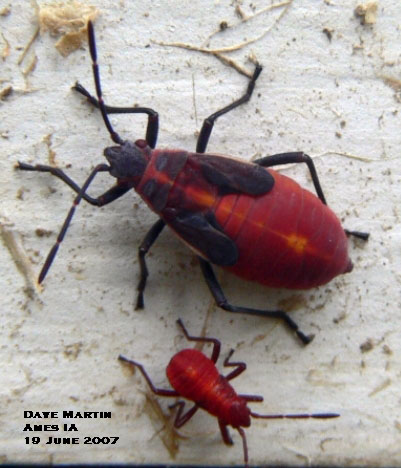 Two sizes of boxelder bug nymphs (immatures).