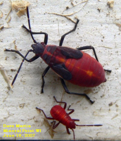 Boxelder bug nymphs are bright red with black head and wing pads.