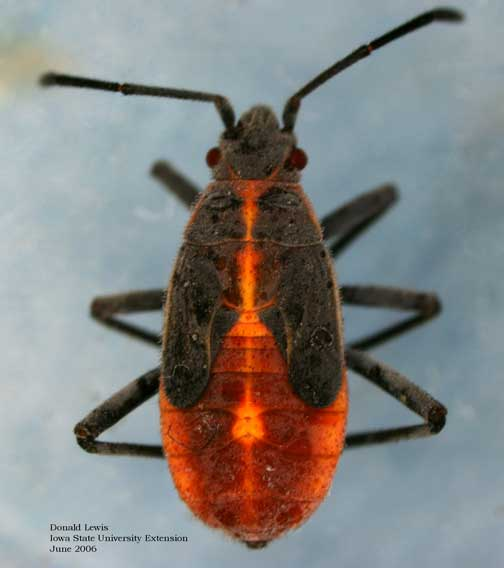 Boxelder bug nymph