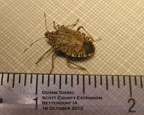 Brown marmorated stink bug showing the banded abdomen and antennae.