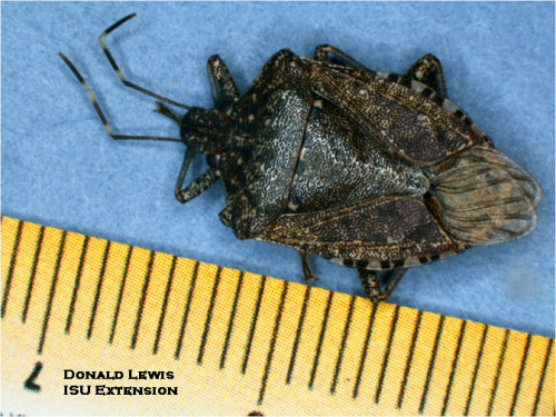 Brown Marmorated Stink Bug.  Note white bands on antennae and alternating bands on upper edge of abdomen.