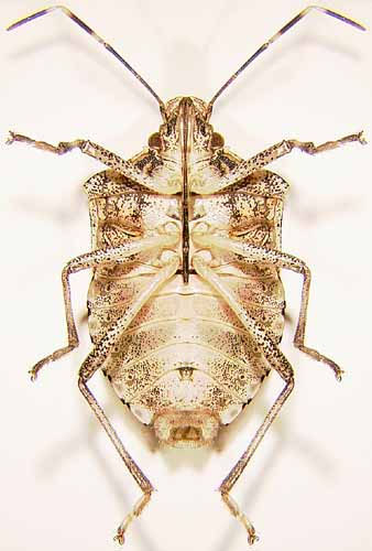 underside of brown marmorated stink bug.  Note the ligth color.  Photo from the Ohio State University Extension Entomology.