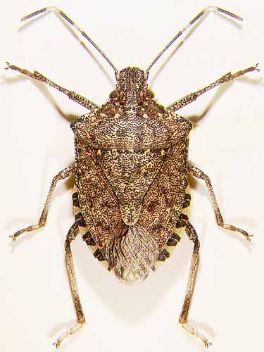 Brown marmorated stink bug.  Note the banded antennae and the alternating light and dark areas on top of adbomen.