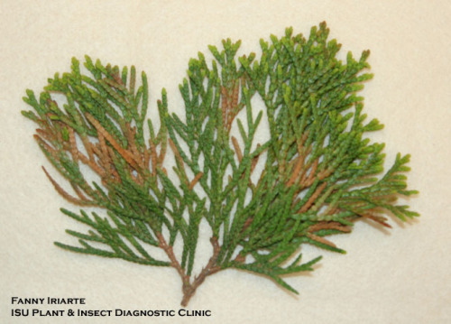 Berckmann's blight on Thuja Orientalis  Photo by Fanny Iriarte