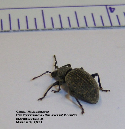Black vine weevil adult.  Photo by Cheri Hildebrand.