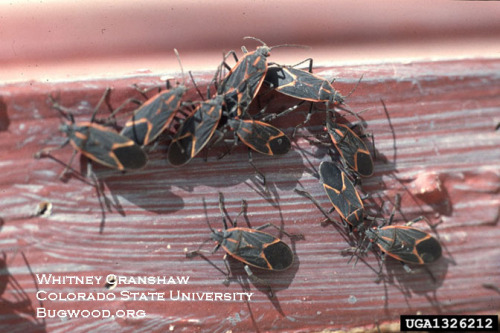 Boxelder bug adults come out of hibernation in early spring.
