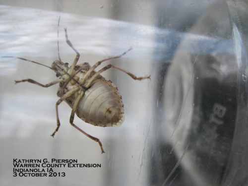 Note that bands on the brown marmorated stink bug antennae are visible from the underside, too!