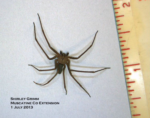 Brown recluse spider showing small body, long legs and violin-shaped marking on the cephalothorax.