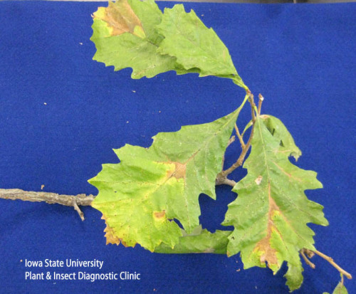 Bur oak blight sample.
