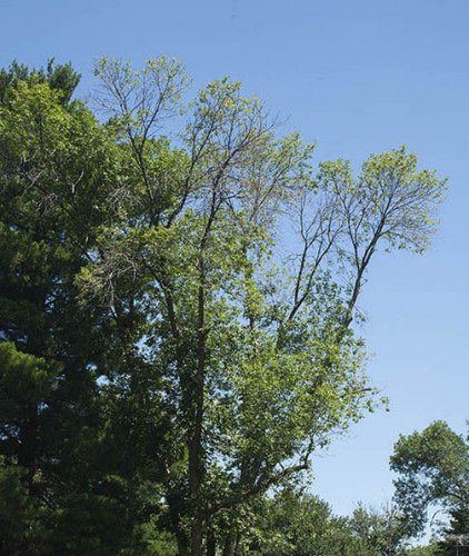 Ash tree with crown die-back caused by the emerald ash borer.