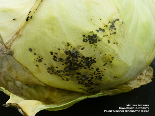 Cabbage spot is a post harvest disorder triggered by storage conditions.