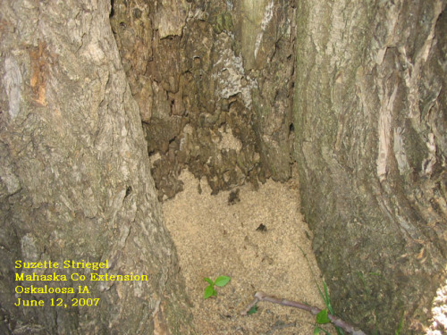 Carpenter ants nesting inside trees often expel large quantities of coarse sawdust.