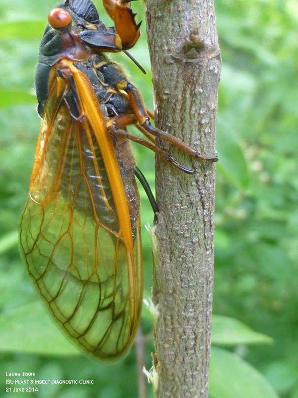 cicada eggs - photo #29