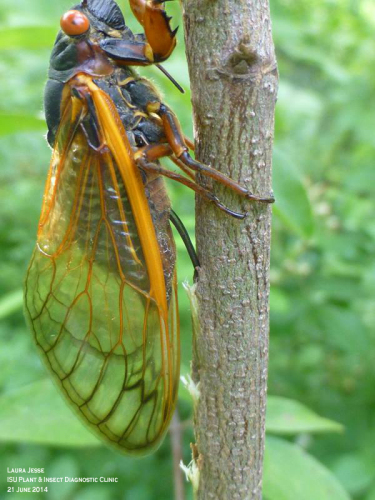 Female periodical cicada inserting eggs into a stem with her ovipositor.