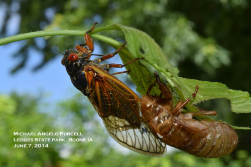 One last look at the emergence of a Brood III Periodical Cicada in central Iowa, 2014.