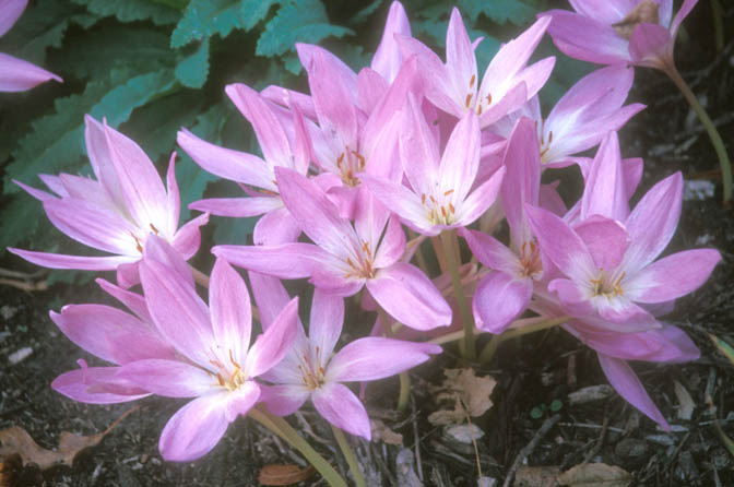 Fall blooming bulbs horticulture and home pest news the leaves of colchicums emerge in early spring and die back by early summer white mightylinksfo