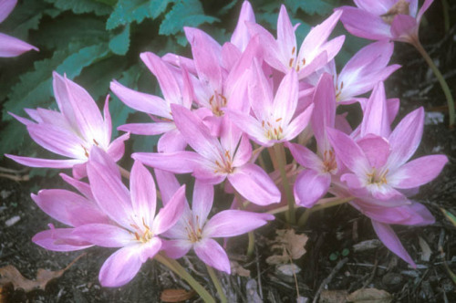 The leaves of colchicums emerge in early spring and die back by early summer. White to pink to purple, crocus-like flowers appear without foliage in late summer or fall.