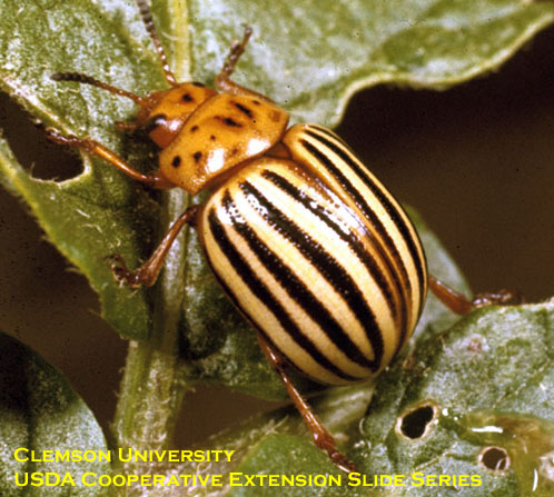 Colorado potato beetle (adult).