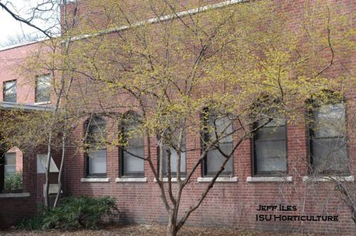 Corneliancherry dogwood in bloom on the ISU Campus.  Photo be Jeff Iles.