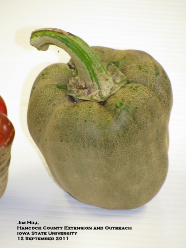 Severe russeting of high-tunnel-grown peppers apparently caused by cyclamen mites.