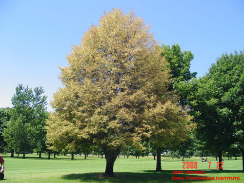 Defoliated Linden tree