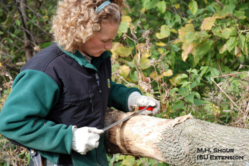 Shannon Peterson [Iowa Department of Natural Resources, Bellevue] bark peeling a sentinel ash tree. Photo by M.H. Shour, ISU Extension.
