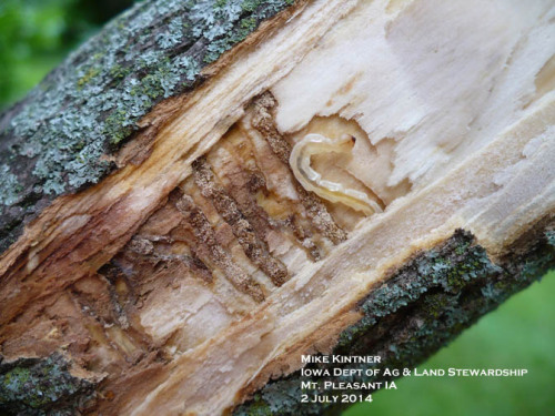 Bark peeled from infested tree to reveal an EAB larva and the S-shaped tunnels.