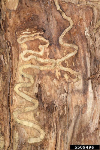 "Typical ""S"" shaped gallery of the emerald ash borer.  Photo byWilliam M. Ciesla, Forest Health Management International. Bugwood.org"