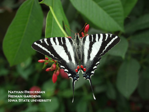 The zebra swallowtail butterfly is aptly named with its black and white stripes.