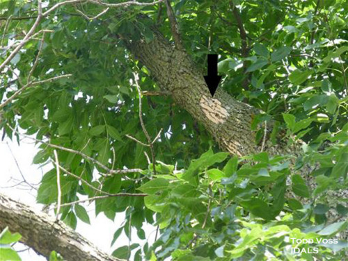 """""""Flecking"""" is one indication of an EAB infestation and is where woodpeckers have picked off the tree bark to get to the larvae below."""