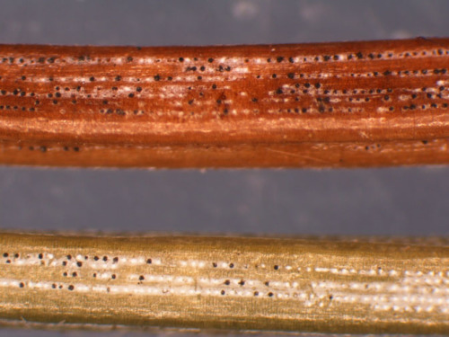 Rhizosphaera fungal fruiting bodies on spruce needles.  Photo by Iowa Plant and Insect Diagnostic Clinic