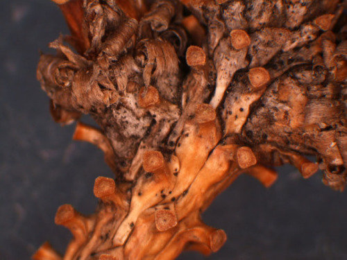 Figure2.  SNEED Fungal Fruiting Bodies on Spruce Twig.  Photo by ISU Plant and Insect Diagnostic Clinic