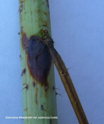 Fig. 1. Spur blight lesions on young canes (primocanes).