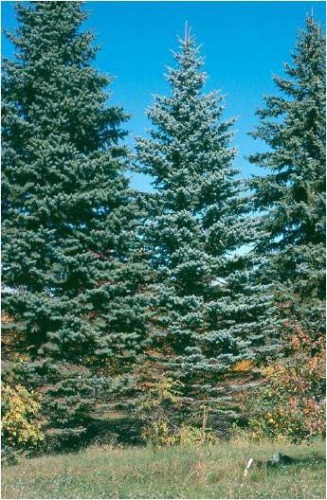 Blue Spruce Tree: A Colorado blue spruce with needle loss from the lower crown, apparently caused by Stigmina needle cast.  Photo by Jim Walla.