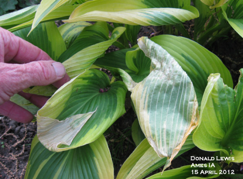 Freeze damage to hosta leaves.