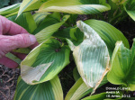 Freeze Damage to Hosta Leaves