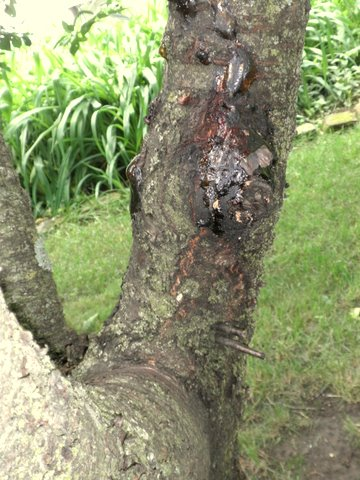 how to kill ants on my cherry tree