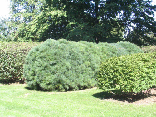 Lilac and dogwood hedges (left, right, respectively) will not require as much pruning as a pine hedge (center).