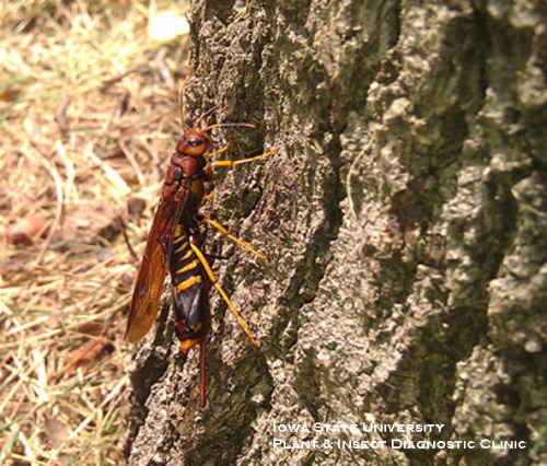 Female horntail wasp with ovipositor inserted into tree bark.
